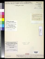 Xenococcus acervatus Setch. & N.L. Gardner in N.L. Gardner