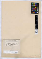 Leptogium byssinum (Hoffm.) Zwackh & Nyl.