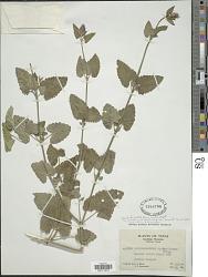 Agastache pallidiflora subsp. neomexicana var. havardii