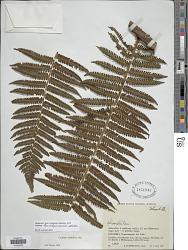 Cyathea leucolepismata Alston