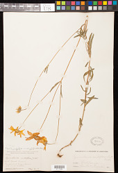 Heliomeris multiflora var. nevadensis (A. Nelson) Blake