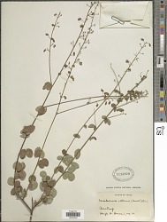 Desmodium ciliare (Muhl. ex Willd.) DC.
