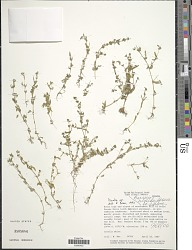 Borreria hispida (L.) K. Schum.