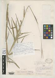 Axonopus amapaensis G.A. Black