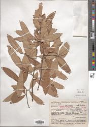 Quercus incana W. Bartram