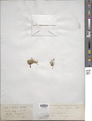 Stellaria biflora L.
