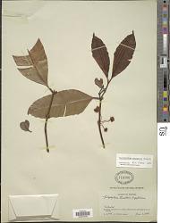 Calophyllum soulattri Burm. f.