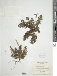 Trichomanes osmundoides DC. ex Poir.