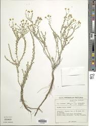 Pentzia incana (Thunb.) Kuntze