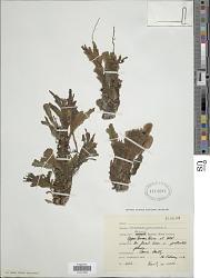 Didymoglossum membranaceum (L.) Vareschi