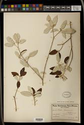 Croton gratissimus Burch.