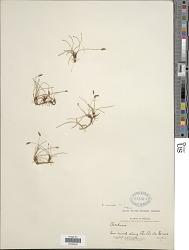 Eleocharis montevidensis Kunth