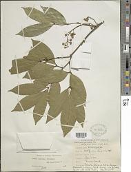 Swartzia caribaea Griseb.