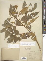 Styrax pentlandianus J. Rémy