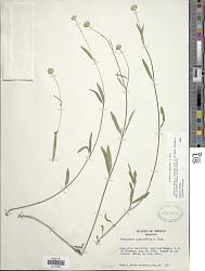 Melanthera angustifolia A. Rich. in Sagra