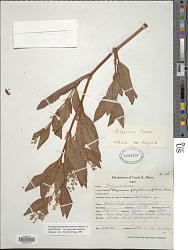 Polygonum phytolaccifolium Meisn. ex Small