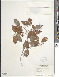 Chrysophyllum oliviforme L.