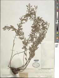 Indigofera lespedezioides Kunth