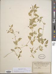 Stellaria ovata Willd.