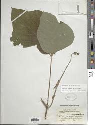 Pueraria lobata (Willd.) Ohwi