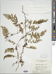 Hymenophyllum hirsutum (L.) Sw.