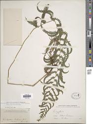 Christella hispidula (Decne.) Holttum
