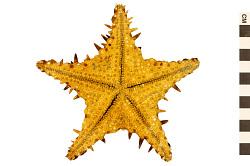 Spiny Star