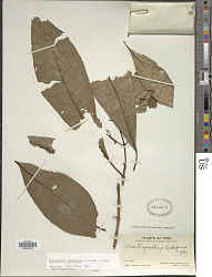Tovomitopsis standleyana D'Arcy
