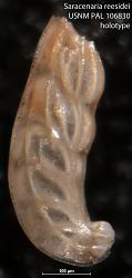 Saracenaria reesidei Fox, 1954