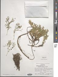 Minuartia nuttallii subsp. gregaria (A. Heller) McNeill
