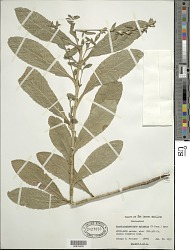 Pseudelephantopus spicatus (Juss. ex Aubl.) C.F. Baker