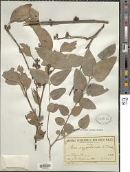 Eucalyptus angophoroides R.T. Baker