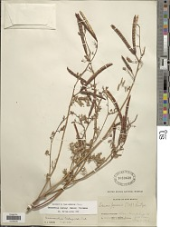 Desmanthus cooleyi (Eaton) Trel.