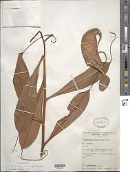 Nepenthes hirsuta Hook. f.