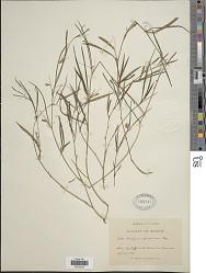 Lathyrus sphaericus Retz.
