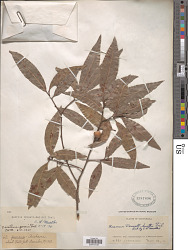 Quercus acatenangensis Trel.