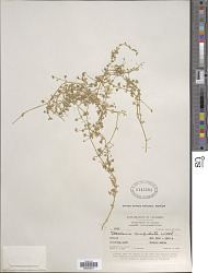 Stellaria cuspidata Willd. ex Schltdl.