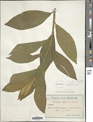 Centropogon gloriosus (Britton) Zahlbr.