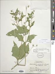 Melanthera nivea (L.) Small