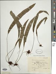 Elaphoglossum petiolatum var. dussii (Underw. ex Maxon) Proctor