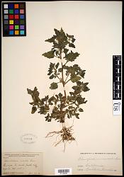 Chenopodium murale L.