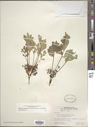 Hydrophyllum capitatum var. alpinum S. Watson in C. King