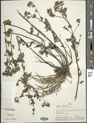 Stevia pabloensis Hieron. in Urb.