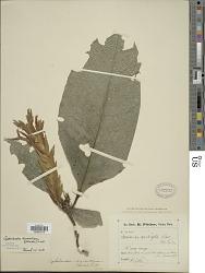 Aphelandra aurantiaca (Scheidw.) Lindl.