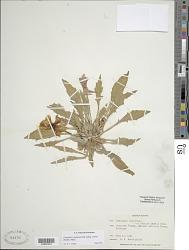 Oenothera cespitosa subsp. crinita (Rydb.) Munz