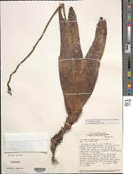 Racinaea spiculosa var. stenoglossa (L.B. Sm.) M.A. Spencer & L.B. Sm.