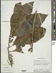 Acnistus arborescens (L.) Schltdl.