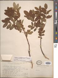Sorbus californica Greene