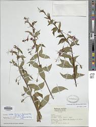 Fuchsia regia subsp. reitzii P.E. Berry