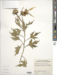 Tithonia diversifolia (Hemsl.) A. Gray